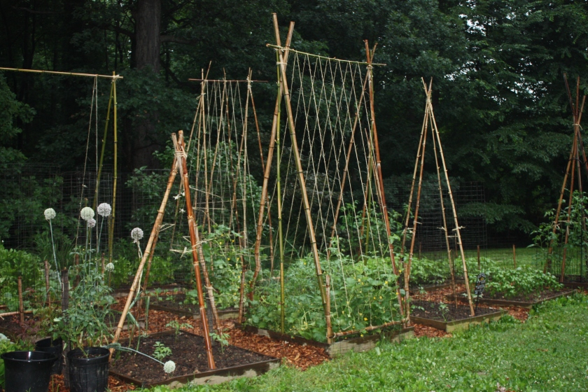 Some years the trellises are just more attractive.