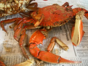 Maryland blue crabs steamed and spiced