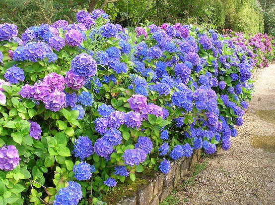 Wall of hydrangea via Pinterest