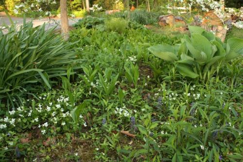 Naked ladies on the left, large hosta on the right with white violets and lily of the valley sprinkled all around.