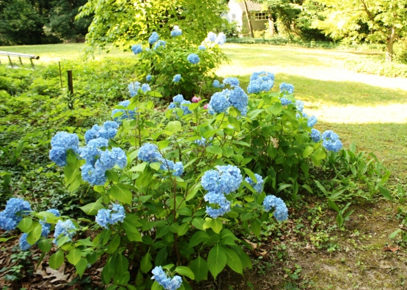 In 2013 before the excavation for the renovation the Nikko blue hydrangeas were filling in on the east side of the house.
