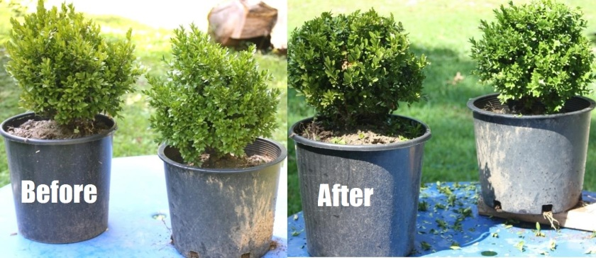 Untrimmed boxwood on the left; trimmed up on the right.