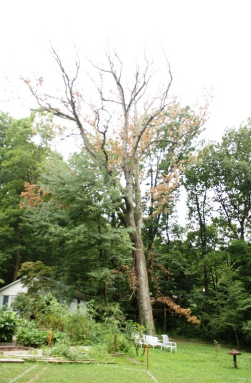 The large tree at the center of the picture is dead.
