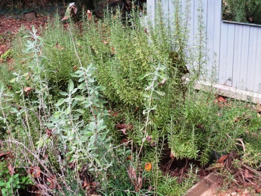 In September of 2013 the very same herbs were doing well and had never been replanted.