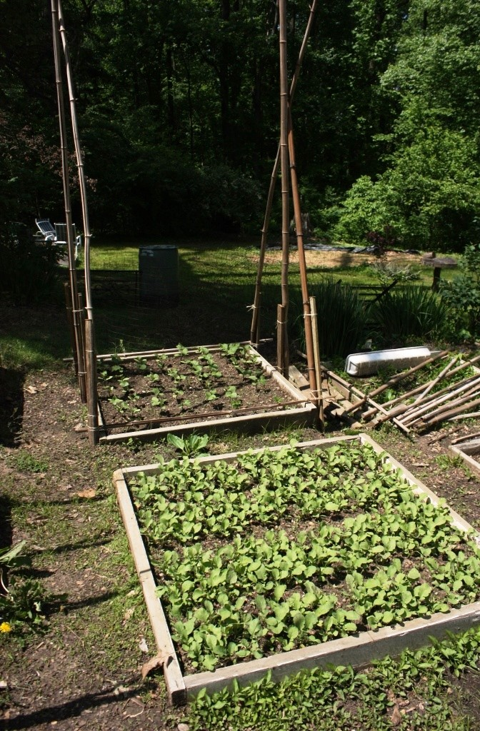Radishes in the foreground don't need support but when the trellis over the vining cucumbers (behind) is finished it will be about 10 feet tall.