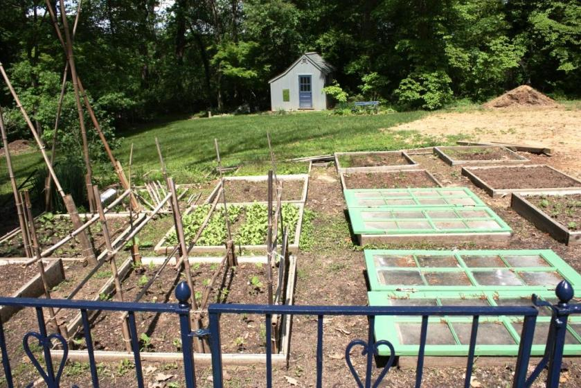Standing at the entrance to the potager peaking over the blue iron fence into the garden.