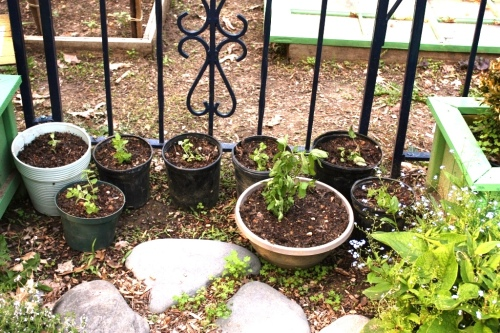 Here's what we have: 6 pots of oregano, 1 pot of spearmint, and 1 pot of lemon balm.