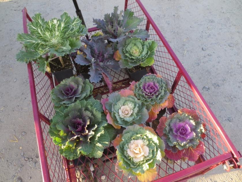 Ornamental kale - 10 for $20.