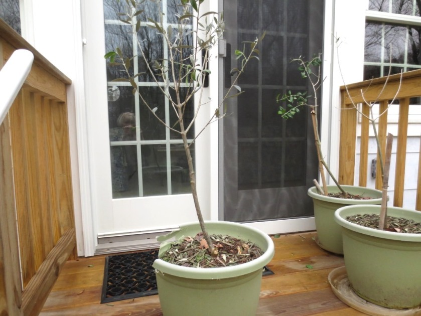 The olive trees really need bigger pots, good soil, and nice weather.