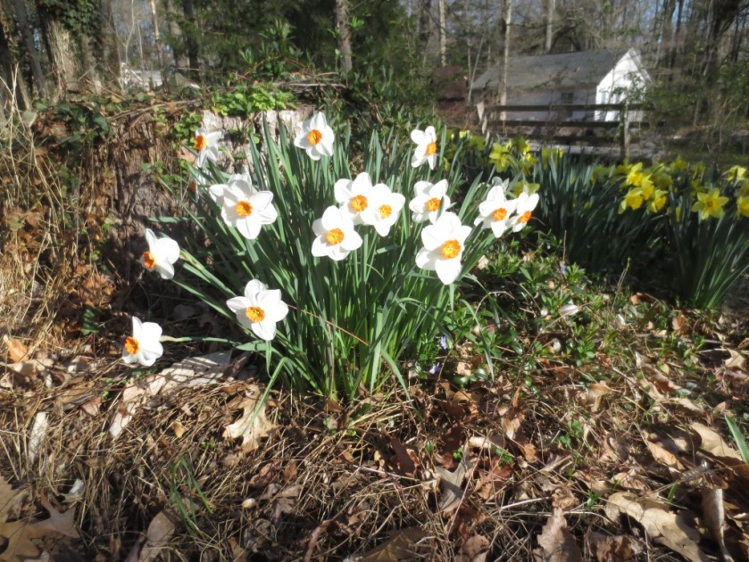 I love these white and orange daffodils -- so dainty and fresh.
