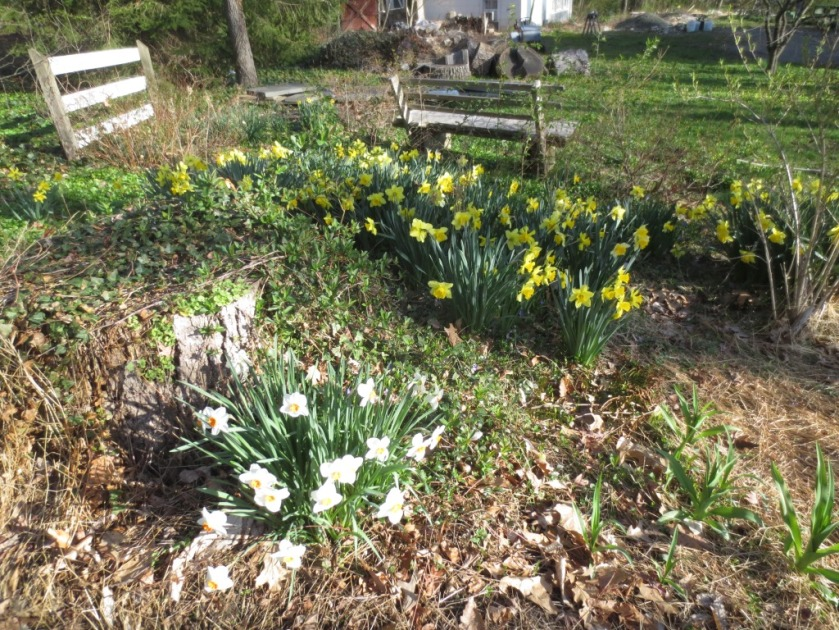 The daffodils in the front border return every year.
