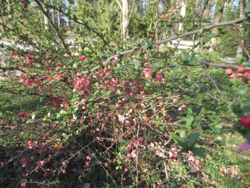 I should cut a few stems and take them into the house -- flowering quince.