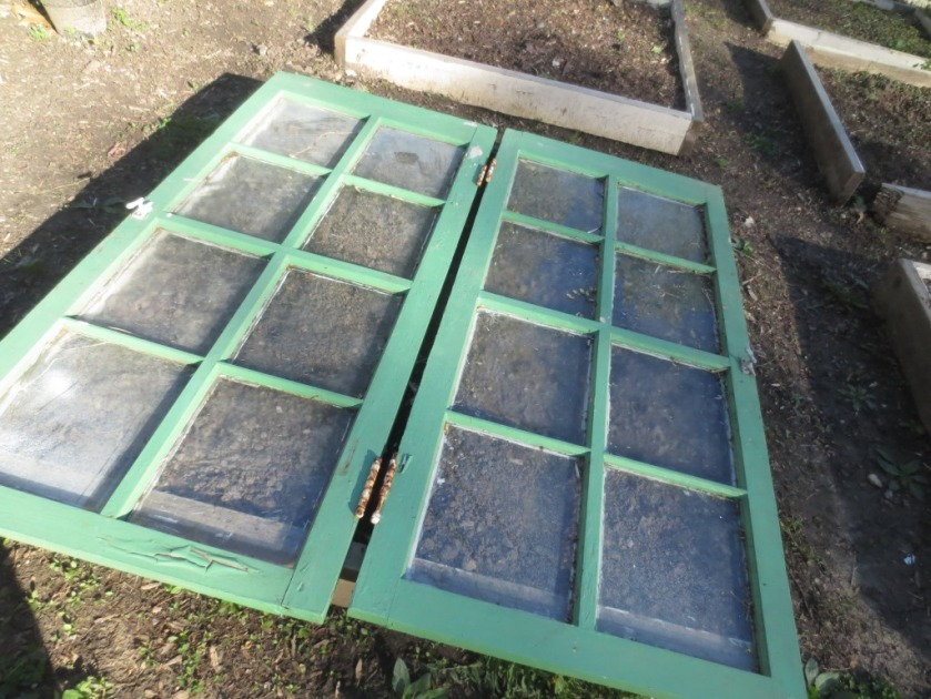 These old windows are useful in the garden as a sort of temporary cold frame.