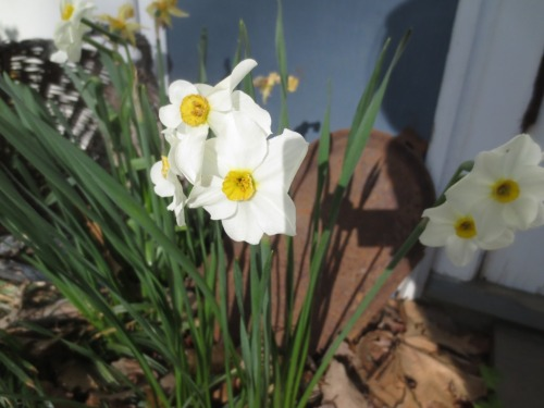 Late narcissus are still blooming.