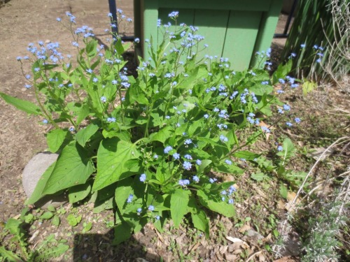 Forget-me-nots (brunnera) grow both in sun and shade.