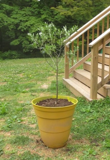 The Koroneiki Greek olive tree in its new pot..