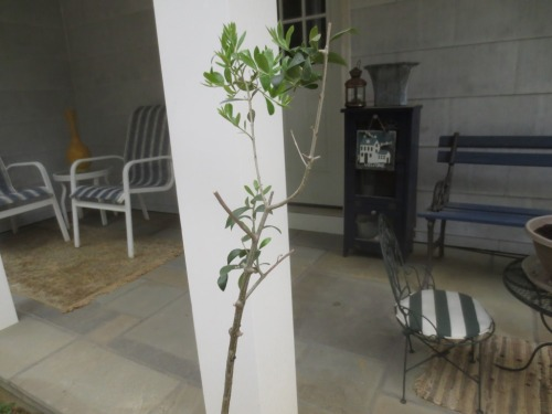 I'm not expecting olives this year but I think the tree will eventually get the lollipop shape I desire.
