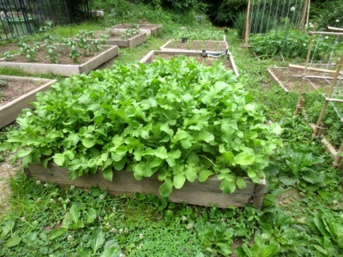 The radish bed is one 4' by 4' square.