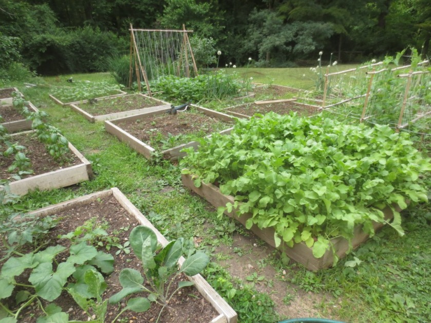 The 2015 potager in June.