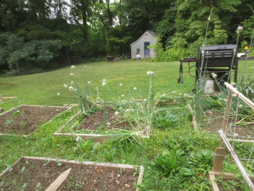 The white snowballs on stalks are onion flowers.