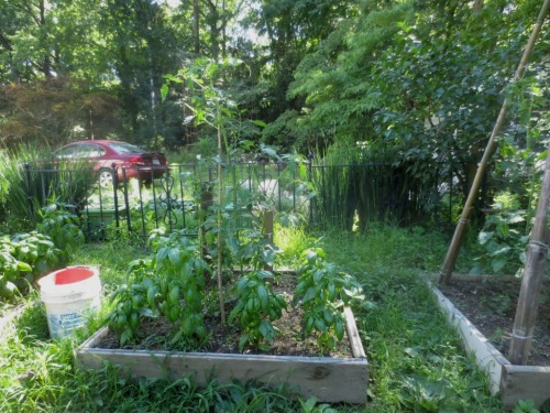 Last month the tomato plants were growing tall but no tomatoes.