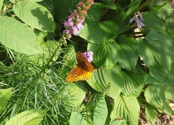 This butterfly is visible at a great distance partly because its coloring does not blend with its preferred surroundings.