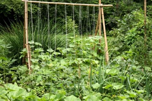 Cucumber trellis is July.