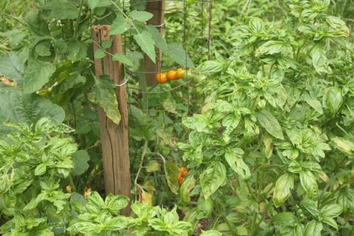 The SunGold tomatoes are beginning to ripen for daily picking.