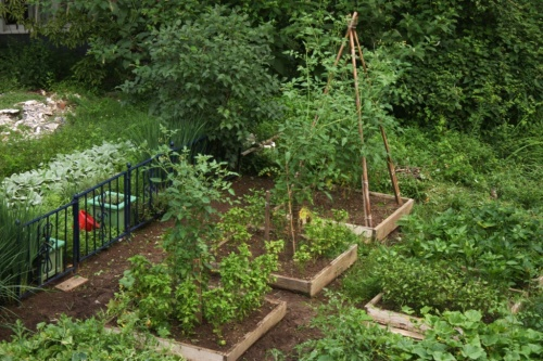 Tomatoes are growing in the bamboo tepee and in a metal cage next door amongst basil.