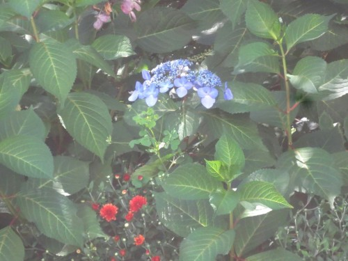 I took cutting from this blue lace cap hydrangea but left the blossoms in tact.