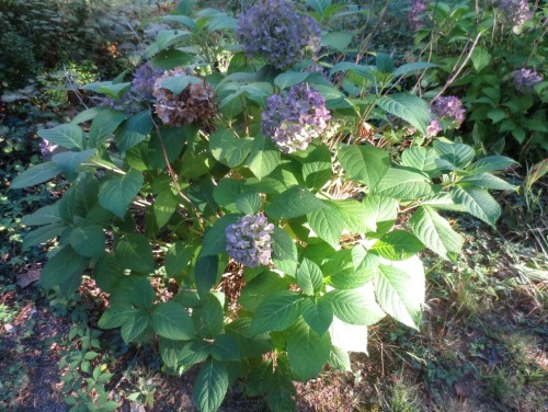 The hydrangea bushes are about 3- feet in diameter.