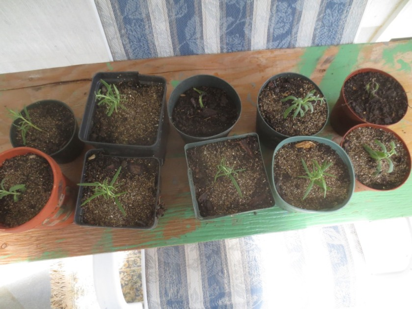 As they grow I'm going to try to train these little plants into topiaries.