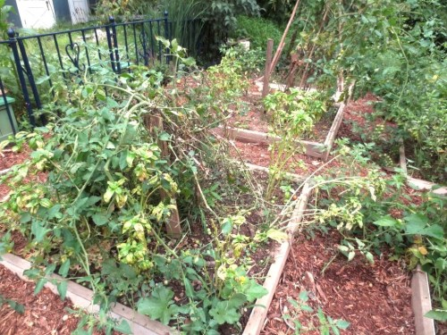 The tomato plants have been knocked over and broken -- this photo is after the clean-up.
