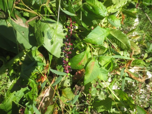 The berries look good but are not edible.
