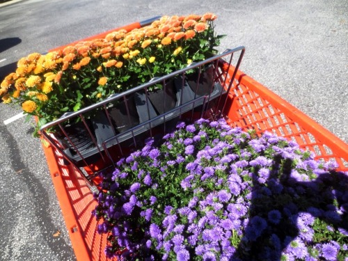 Eight quarts of burnished button mums and 3 large pots of blue asters.