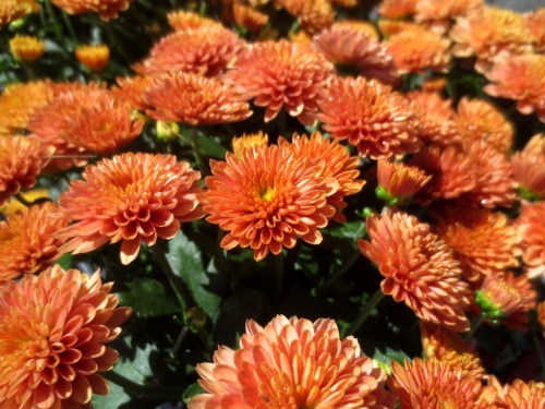 These mums especially should bring some color to our grey, blue, and white color scheme.