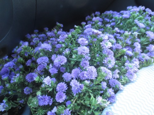 I bought the bluest asters I could find.