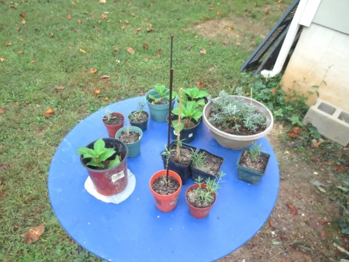 In addition to the herb topiaries I have 4 more hydrangeas that need a permanent home before winter sets in.