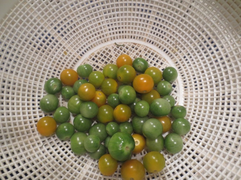 Charlie picked some green tomatoes from the ground. We're wondering if they would be good roasted.
