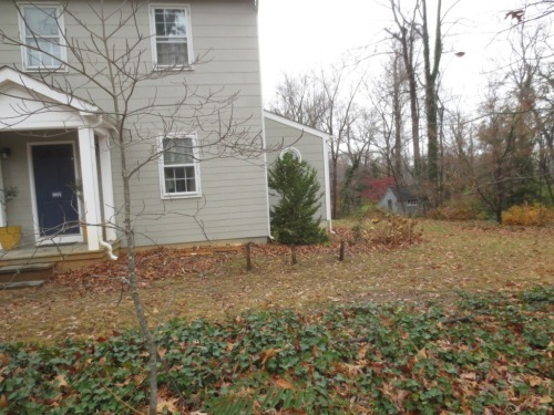 Charlie planted 3 oak leaf hydrangeas near the front of the house.