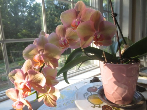The orchid I received last year for my birthday in February was still blooming in June.
