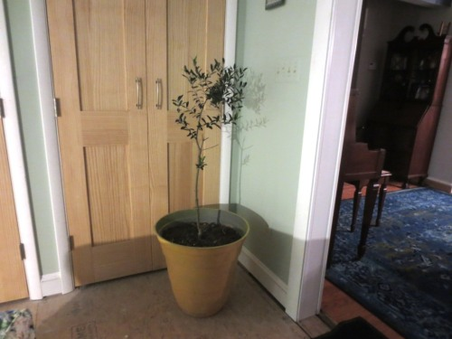 One of 3 olive trees.