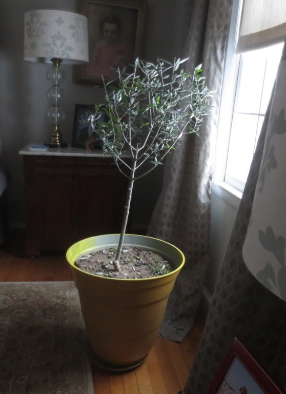 The Greek olive tree is back in the living room window.