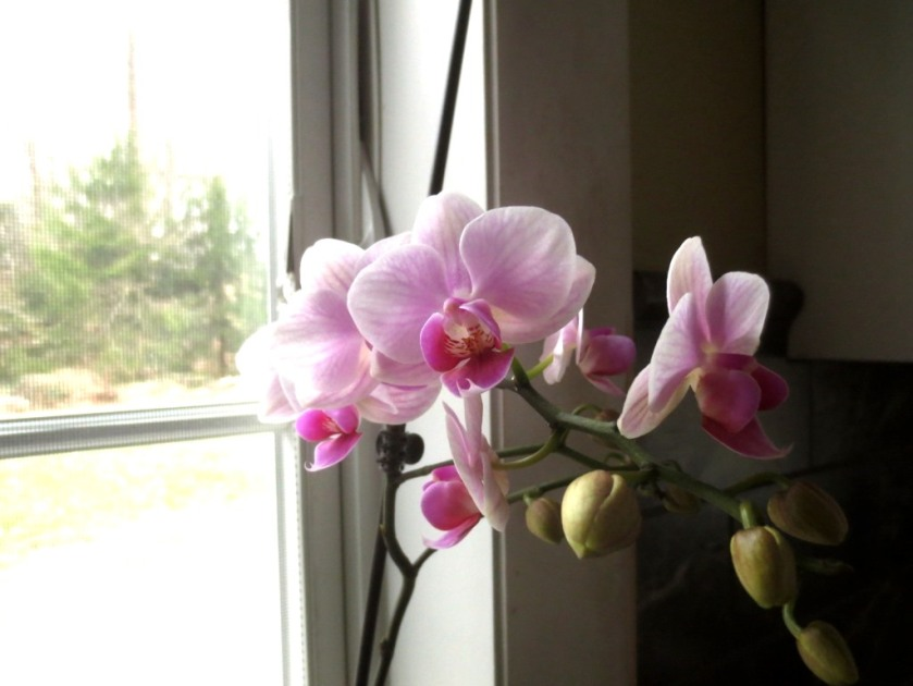 A delicate pink orchid with more buds on the verge of blooming.