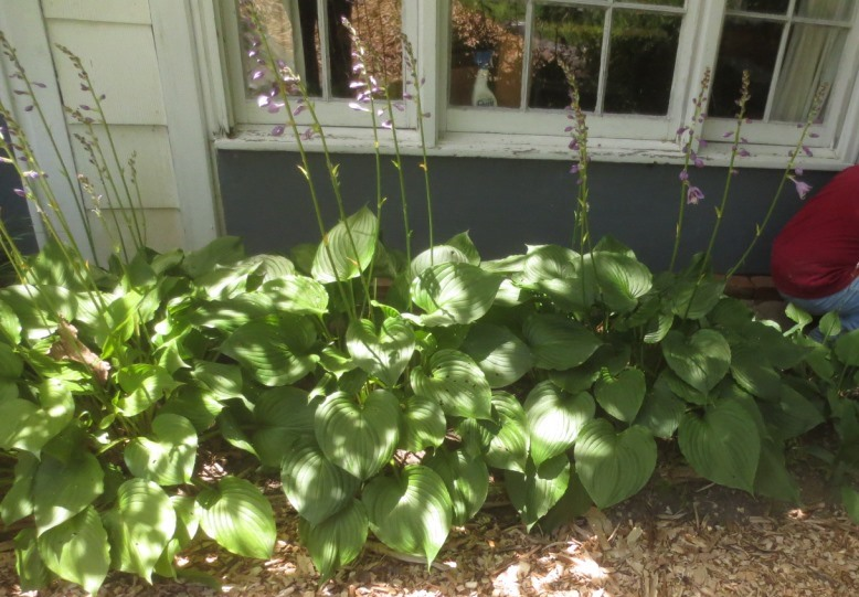 The hosta looks healthy this year.