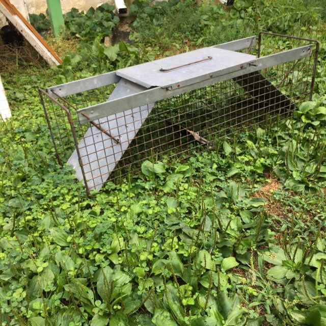 Charlie set this trap near the groundhog's home.