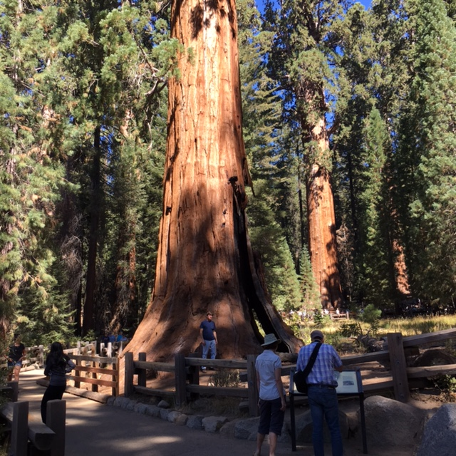 Charlie is standing at the base of a Sequoia tree for size reference.